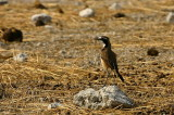 Capped Wheatear, Etosha National Park