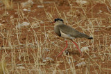 Crowned Plover adult
