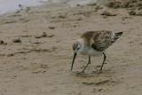 Curlew Sandpiper, Walvis Bay