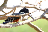 Giant Kingfisher, Shakawe Lodge, Botswana