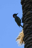 Golden-tailed Woodpecker, Waterberg, Namibia