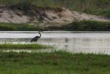 Goliath Heron, Babwata Game Reserve, Caprivi
