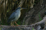Green-backed Heron, Shakawe Lodge, Botswana