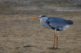 Grey Heron, Walvis Bay