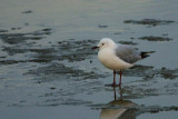 Hartlaub's Gull, Walvis Bay