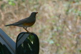 Kurrichane Thrush, Shakawe Lodge, Botswana