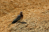 Laughing Dove (Palm Dove), Spitzkoppe