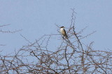 Lesser Grey Shrike, Etosha National Park