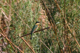 Little bee-eater, Kavango River near Shamvura Lodge