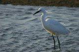 Little Egret, Walvis Bay