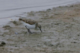 Little Stint, Walvis Bay
