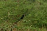 Magpie Shrike, Mahango Game Reserve, Namibia