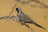 Namaqua Dove, Etosha National Park