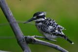 Pied Kingfisher, Shakawe, Botswana