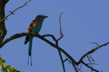 Racket-tailed Roller, Kavango, Namibia