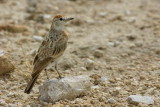 Red-capped Lark, Etosha National Park