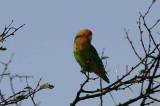 Rosy-faced Lovebird, Namibgrens Guest Farm, Namibia
