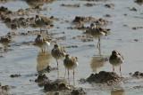 Ruff, Etosha National Park