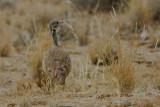 Ruppell's Korhaan, Namib Desert, Namibia