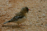 Scaly-feathered Finch, Solitaire, Namib