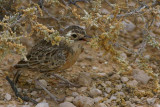 Spike-heeled Lark, Etosha National Park
