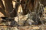 Spotted Eagle Owl, Okakarara 'short cut' road to Waterberg
