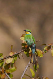 Swallow-tailed Bee-eater, roadside heading towards Namibgrens guesthouse