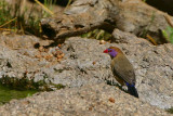Violet-eared Waxbill, Erongo Wilderness Lodge