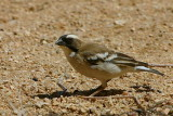 White-browed Sparrow-Weaver, Spitzkoppe