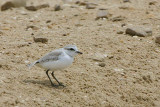 White-fronted Plover, Walvis Bay