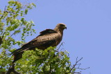 Yellow-billed Kite, Mahango Game Reserve