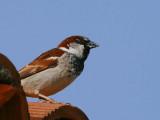 House Sparrow, Asur Hotel, Dalyan, Turkey