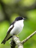 Pied Flycatcher, Ross Wood, Loch Lomond
