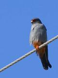 Red-footed Falcon, near Dalyan, Turkey