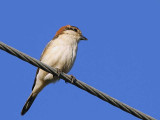 Woodchat Shrike, Dalyan, Turkey