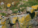 Puffin on top of the Great Stack, Handa Island SWT Nature Reserve