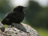 Carrion Crow juvenile, Overtoun House, Dumbarton