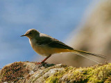 Grey Wagtail (juvenile), Inversnaid, Loch Lomond