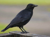 Carrion Crow, Strathclyde CP, Clyde