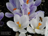Crocuses with a honey bee