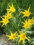 IMG_0013 Yellow tulips