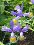 IMG_0016 Irises