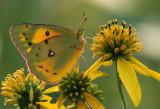 Moorland Clouded Yellow