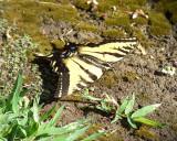Aug 17 03 Butterfly 1591.jpg