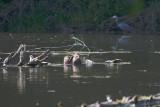 May 17 07 Local Lake Nutria-Heron 1 -076.jpg