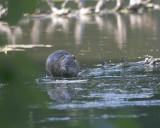 May 17 07 Local Lake Mister Nutria 1 -091.jpg