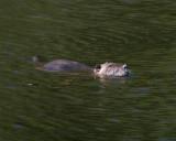 May 17 07 Local Lake Nutria swimmer -291.jpg