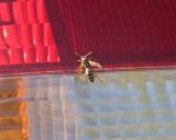 May 7 07 Roaming Wasp-039.jpg