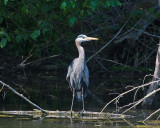 The Beautiful Great Blue Heron
