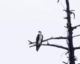 Ospreys -- A New Glimpse